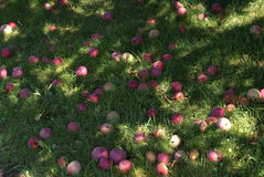 The Fallen Apples Stock Photo