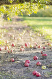 Fallen apples under an apple tree Royalty Free Stock Image