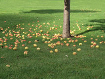 Fallen apples under tree. Scattered fallen apples on green grass under tree with trunk visible Stock Photography