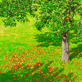 Fallen Apples Royalty Free Stock Image
