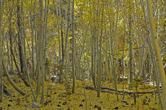 Fallen aspen leaves. Forest ground covered with yellow aspen tree leaves stock photos