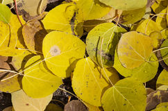 Fallen Aspen Leaves Stock Photo