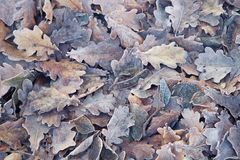 Fallen autumn beige and gray oak leaves lying on the ground and covered with hoarfrost. Late autumn or winter natural background Stock Photography
