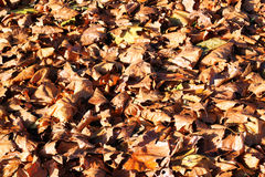 Fallen Autumn brown leaves as a background. Stock Photography