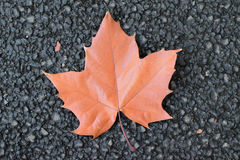 Fallen autumn brown maple leaf on road Stock Image