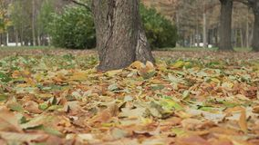 Fallen autumn chestnut leaves in windy day Stock Photos