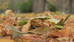 Fallen autumn chestnut leaves in windy day Royalty Free Stock Image