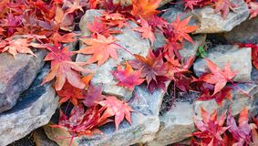 Bright red japanese maple leaves scattered over a pile of rocks. Fallen autumn Japanese Maple leaves scattered over rocks royalty free stock photos