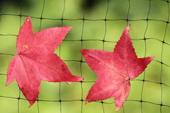A fallen autumn leaf caught on a wire net. In backlit, green background Stock Images