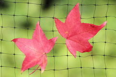 A fallen autumn leaf caught on a wire net Royalty Free Stock Images