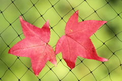 A fallen autumn leaf caught on a wire net Stock Image