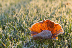 Fallen autumn leaf on frosty grass. In sunny morning light Stock Images