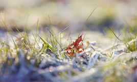 The fallen autumn leaf and grass in hoarfrost Stock Image