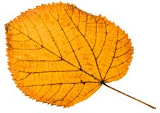 Fallen autumn leaf of linden tree isolated. On white background royalty free stock images