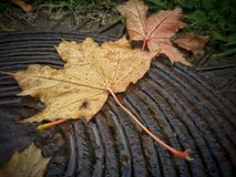 Fallen autumn leaf stock image