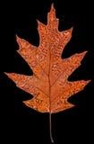 Fallen autumn leaf of oak, isolated on black background Royalty Free Stock Photos