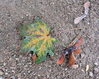 Fallen Autumn Leaf and Seed Pods on Ground. Seasonal background illustrating cycle of death and rebirth Stock Photography