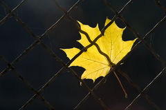 A fallen autumn leaf on a wire fence Royalty Free Stock Images