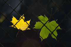 A fallen autumn leaf on a wire fence Royalty Free Stock Image