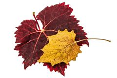 Fallen autumn leafs, isolated on white background.  Royalty Free Stock Images