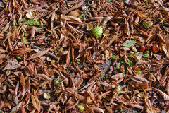 Fallen autumn leaves. On the ground with chestnuts and shells Royalty Free Stock Photography