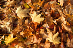 Fallen Autumn Leaves. Pile of dry fallen autumn leaves, suitable as a background Stock Image