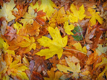Fallen Autumn Leaves. This shot shows wet matted leaves on the ground Royalty Free Stock Images