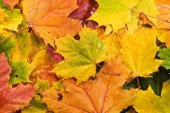 Fallen autumn leaves Stock Images