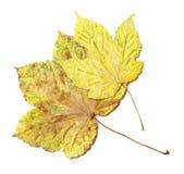 Fallen autumn leaves. On white background Royalty Free Stock Photos