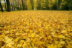 Fallen autumn leaves. October, Russia Royalty Free Stock Photo