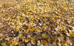 Fallen autumn leaves. Background of colored leaves fallen on the ground in autumn. photo in a maple forest, top view. some leaves began to rot Stock Image