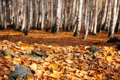 Fallen autumn leaves in birch forest Royalty Free Stock Photo