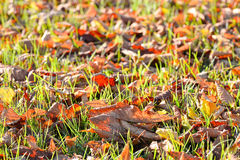 Fallen autumn leaves on bright green grass in sunny morning light. Fall season nature background. Royalty Free Stock Photography