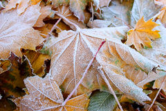 Fallen autumn leaves. Covered with hoarfrost crystals Stock Images