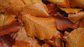 Fallen autumn leaves with dewdrops Royalty Free Stock Photography