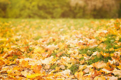 Fallen autumn leaves on grass in sunny morning Royalty Free Stock Photography