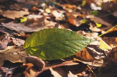 Fallen autumn leaves on grass in sunny morning light,. Toned photo. Pure green leaf on a background of fallen yellow leaves stock photo