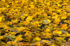 Fallen autumn leaves on grass. Fallen autumn yellow leaves on the grass Royalty Free Stock Images