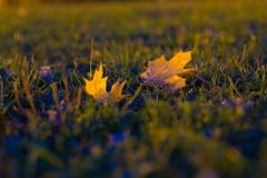 Fallen autumn leaves on the ground in the Park. Fallen autumn leaves on the ground - close up of two leaves, the rest blurred Royalty Free Stock Photography