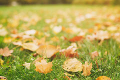 Fallen autumn leaves on the ground, fall season Royalty Free Stock Photography