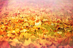Fallen autumn leaves on the ground Stock Photography