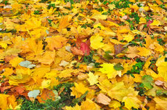 Fallen autumn leaves on the ground. Royalty Free Stock Images