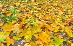 Fallen autumn leaves on the ground. Stock Image