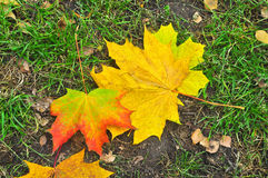 Fallen autumn leaves on the ground. Royalty Free Stock Photography