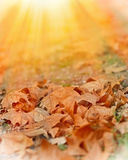 Fallen autumn leaves illuminated by sunlight. Fallen autumn leaves on the ground illuminated by sunlight Royalty Free Stock Images