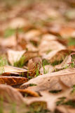 Fallen Autumn Leaves (Ontario, Canada). Beautiful fall colours on the grass Royalty Free Stock Images