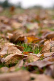 Fallen Autumn Leaves (Ontario, Canada). Beautiful fall colours on the grass Stock Image