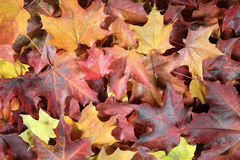 The fallen autumn leaves Stock Image