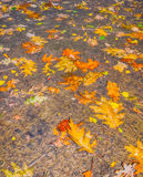 Fallen autumn leaves on the wet ground Royalty Free Stock Photos