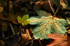 Fallen autumn maple leaf Royalty Free Stock Photography